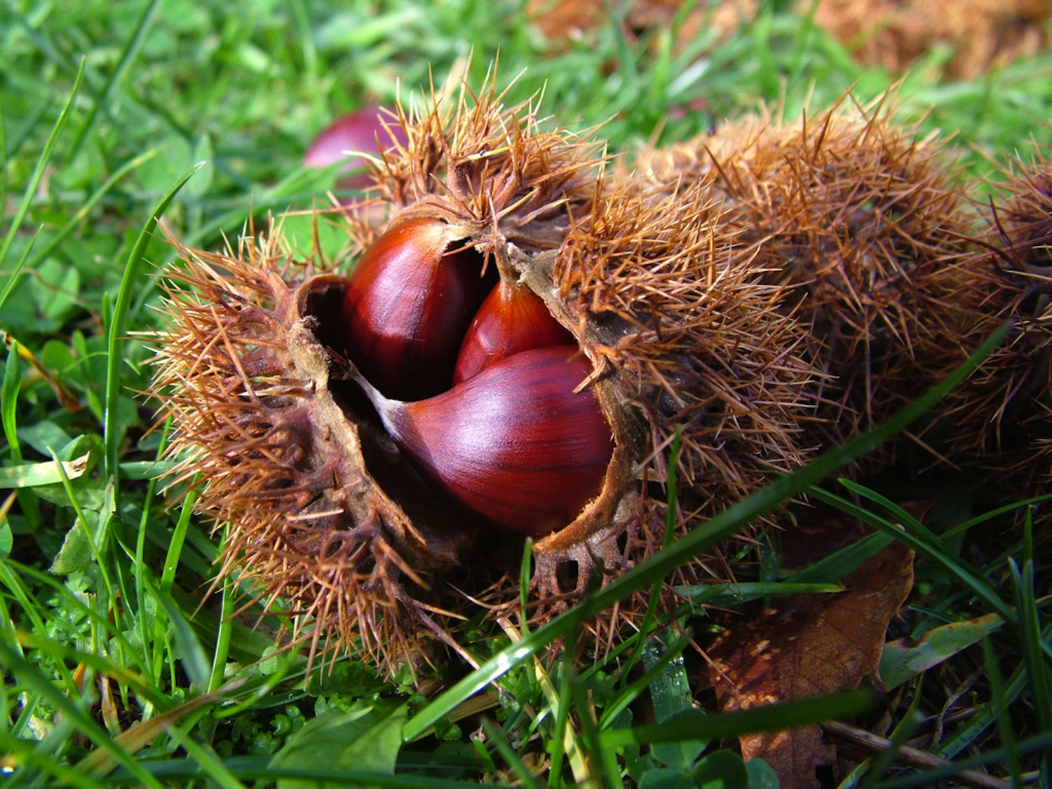 Chestnuts, queens of the forest: 5 good reasons to eat them