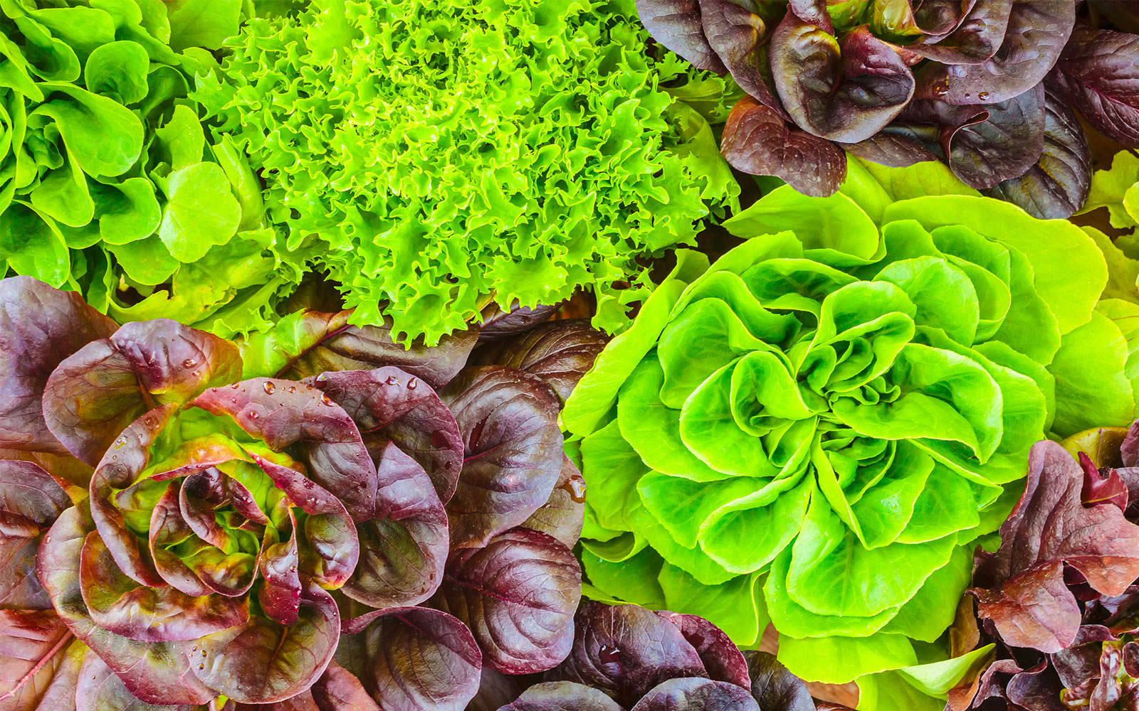 Lettuce and lettuce: all the differences
