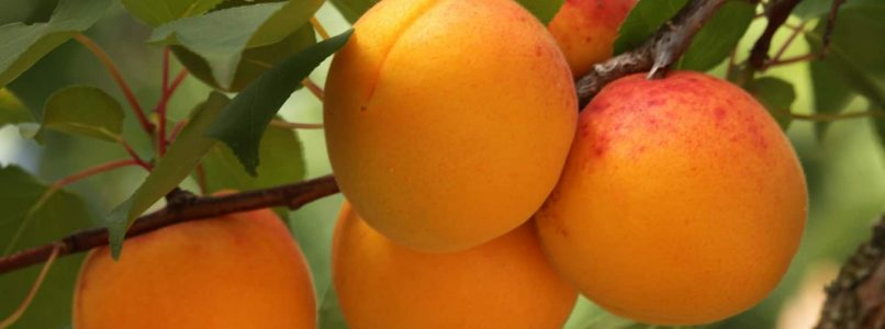 Life of apricot, the orange of summer - Salt & Pepper