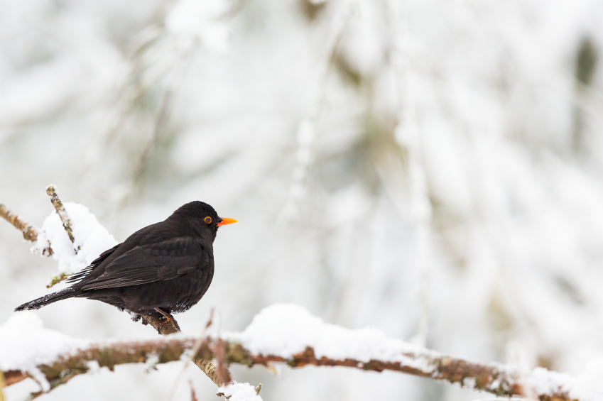Regional recipes for the days of the blackbird