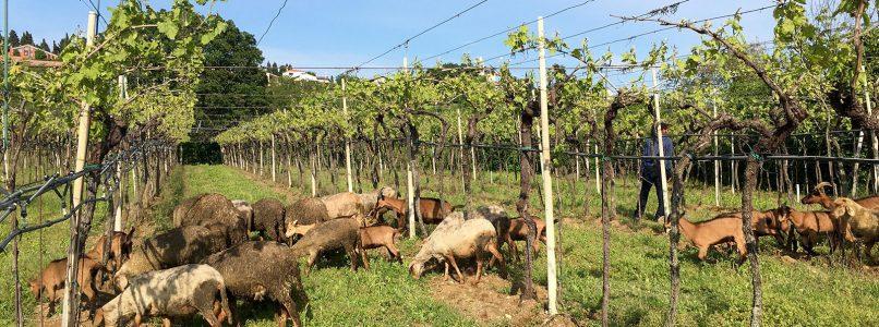 The wine of the week: Soave Classico Ca 'Visco 2018 Coffele
