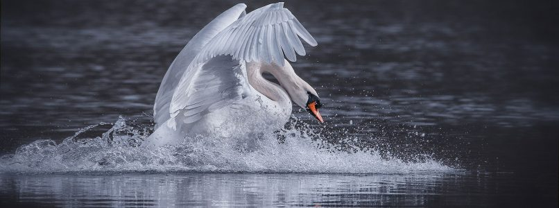 Why do you eat ducks and geese but not the swan?